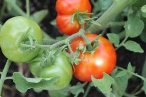 Slava tomatoes, donated by Seed Savers Exchange.